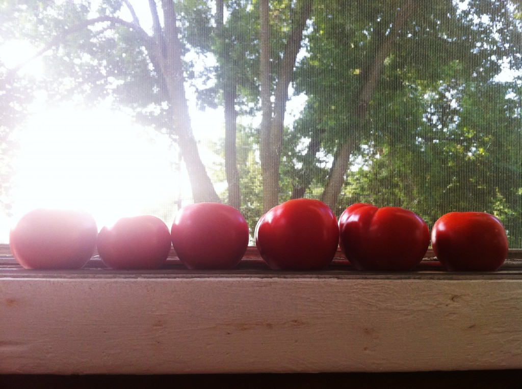 Tomatoes ripening on the window sill